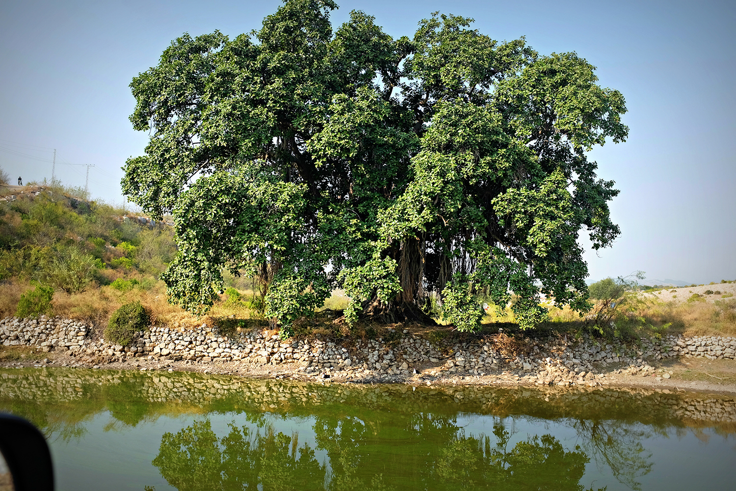An old banyan tree standing by the side of a pond is not an unusual sight in Potohar.