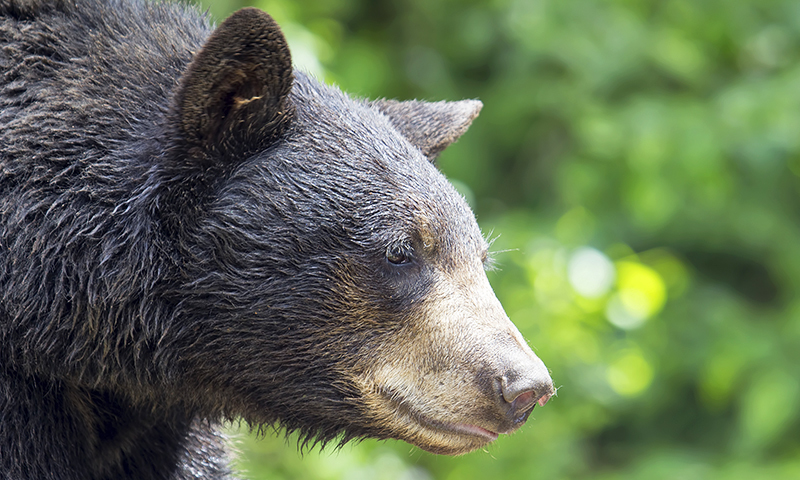 Once found across Pakistan, the black bear is now only confined to wetter, forested areas. It is largely hunted for fat which is used to treat many illnesses by the locals. —Creative commons