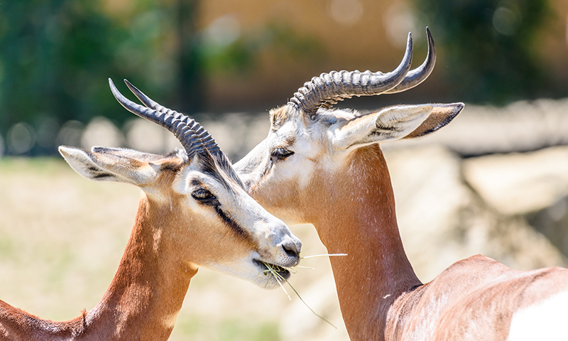 Illegal hunting is threatening the existence of 'chinakara', a beautiful antelope species of the Indian gazelle. —Creative commons