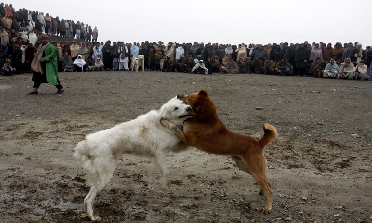 Locals attend a dog fight in a ground near Chaman border
