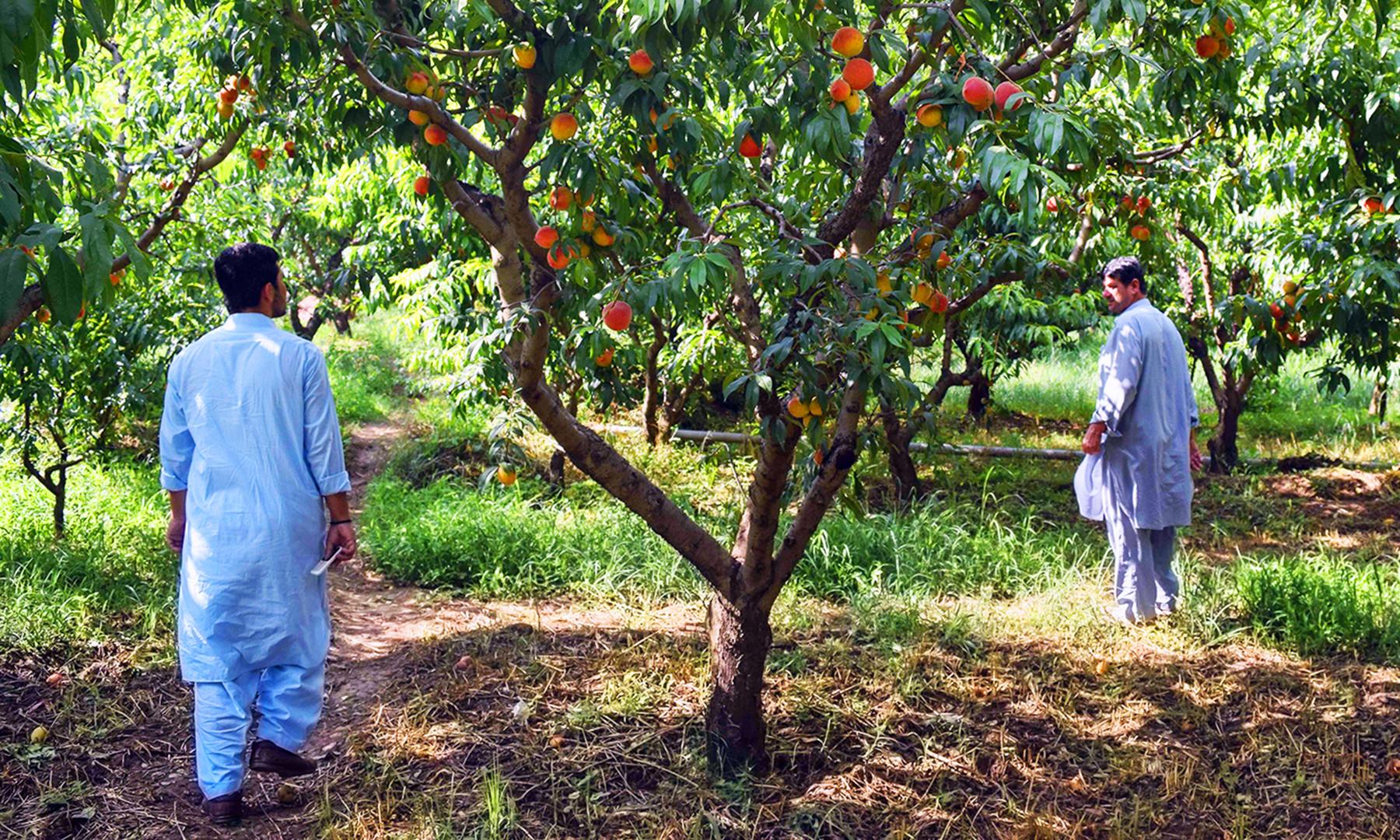 گاؤں خریڑئی میں شفتالو کے ایک باغ کا منظر — تصویر امجد علی سحاب