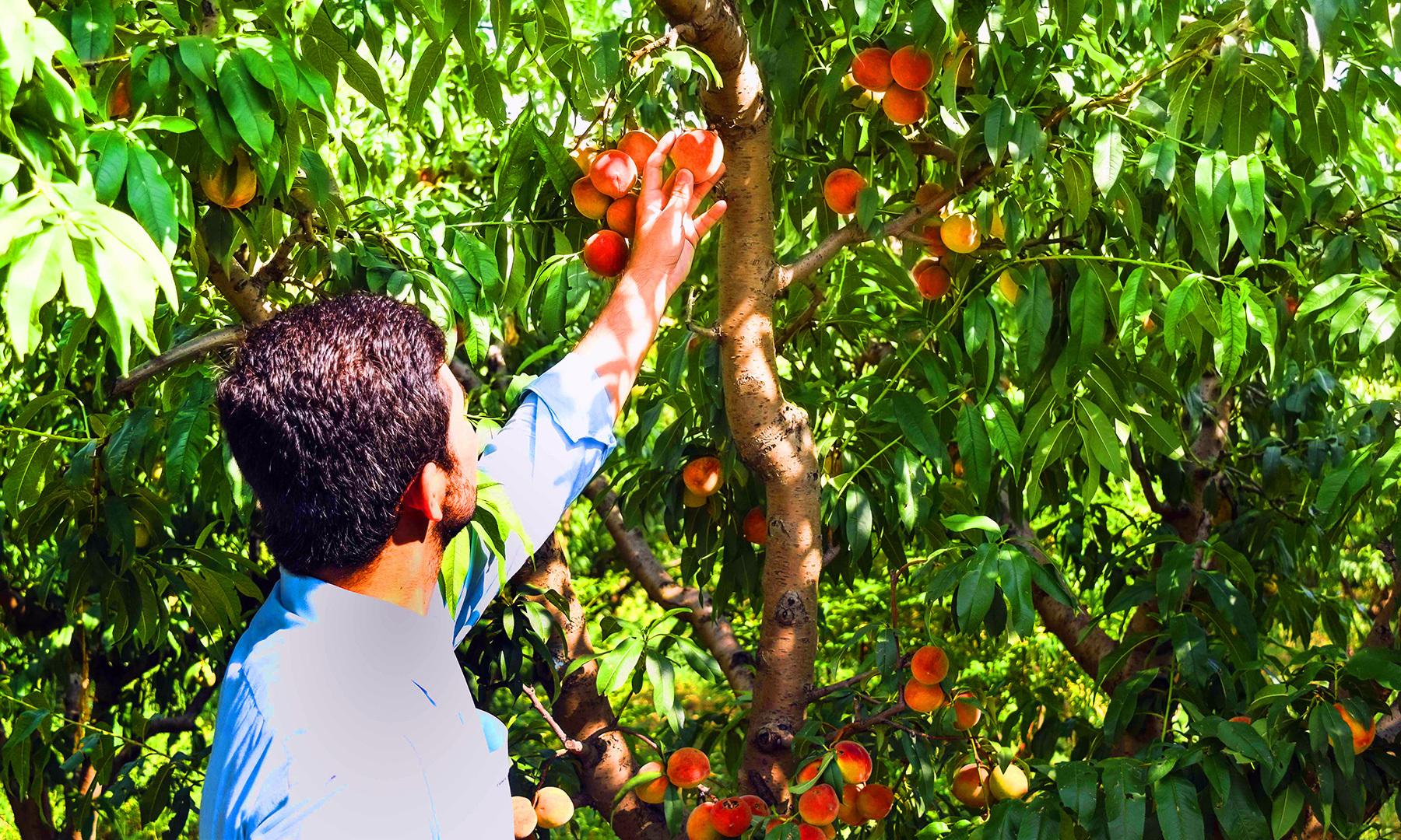 خریدار پھل کو جانچ رہا ہے — تصویر امجد علی سحاب