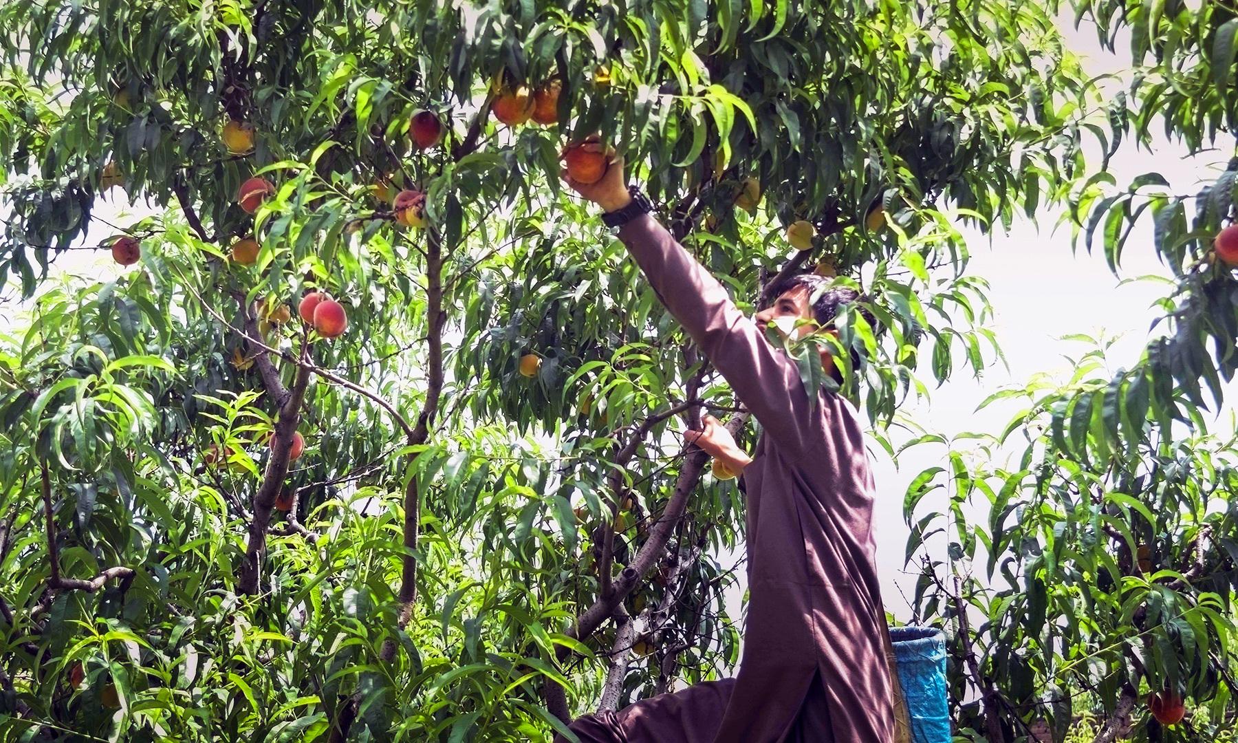 شوک مار درخت سے پھل اتارنے میں مصروف ہے — تصویر امجد علی سحاب