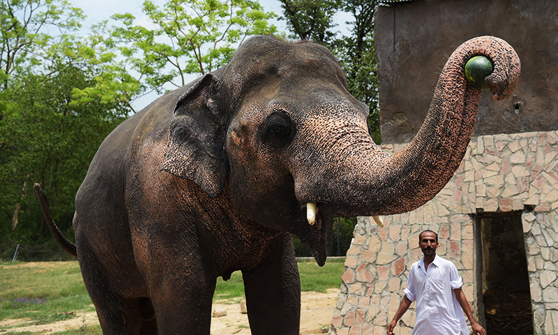 This photograph taken on June 30, 2016, shows Pakistani elephant Kaavan being fed at the Marghazar Zoo in Islamabad. ─ AFP