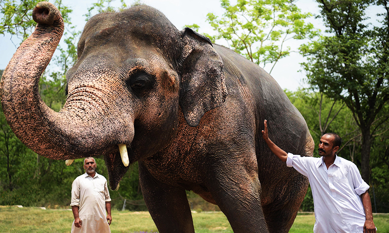 This photograph taken on June 30, 2016, shows Pakistani elephant Kaavan at the Marghazar Zoo in Islamabad. ─ AFP