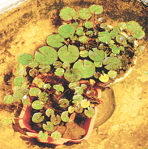 Young waterlily plants