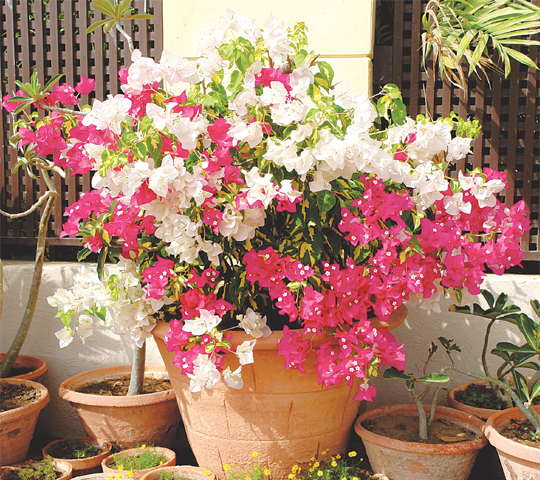 how to grow bougainvillea in a pot