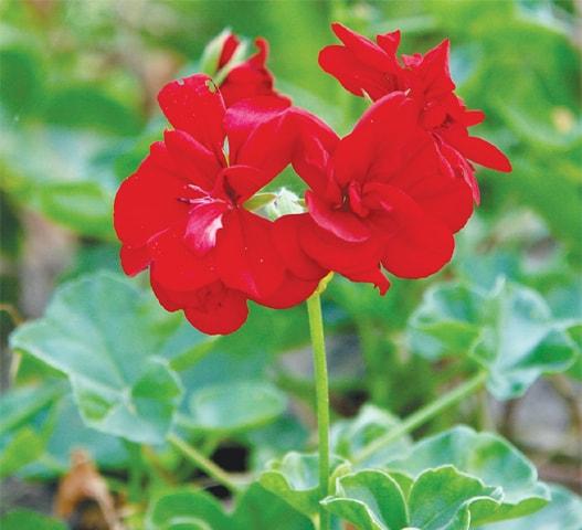 So does this geranium