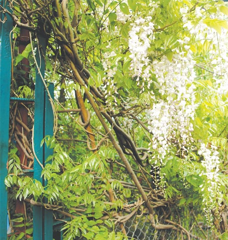 This 'Wisteria' thrives on it