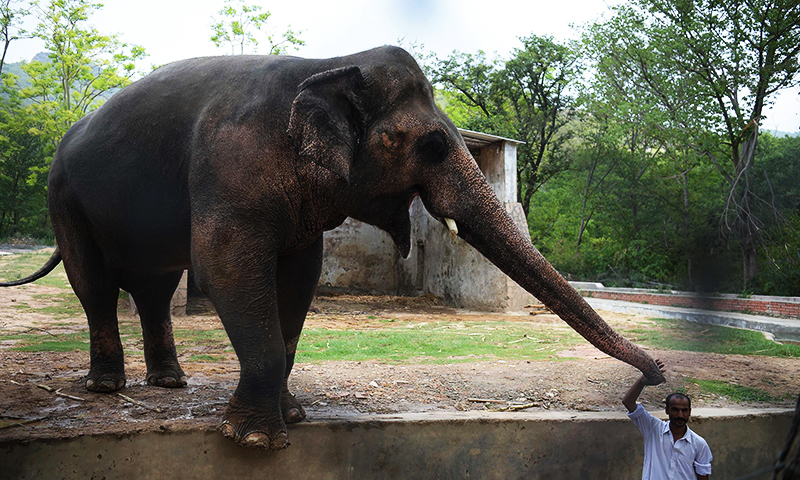 'Kaavan not as aggressive since he was unchained'