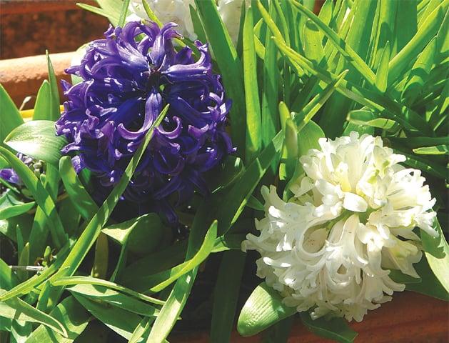 Dutch 'Hyacinths'