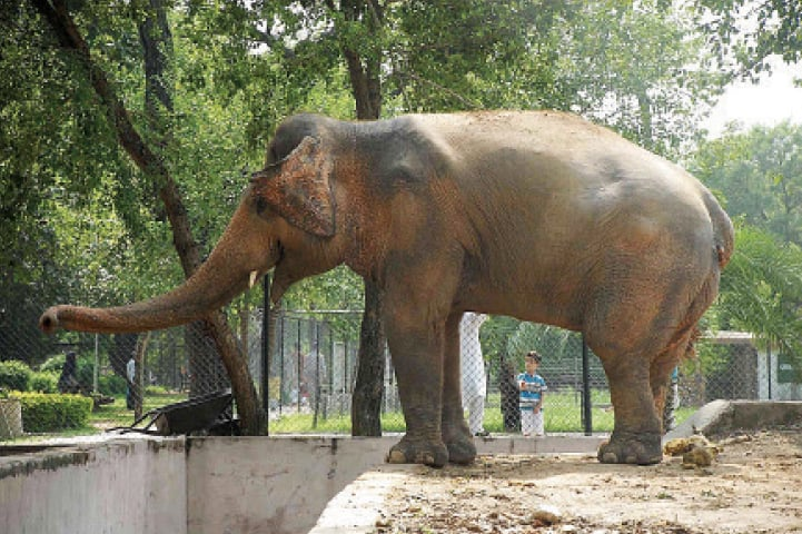 Kavaan at his enclosure in Marghazar Zoo. — Online