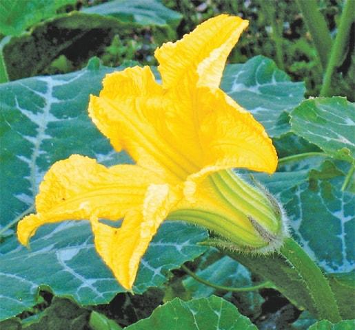Male pumpkin flower