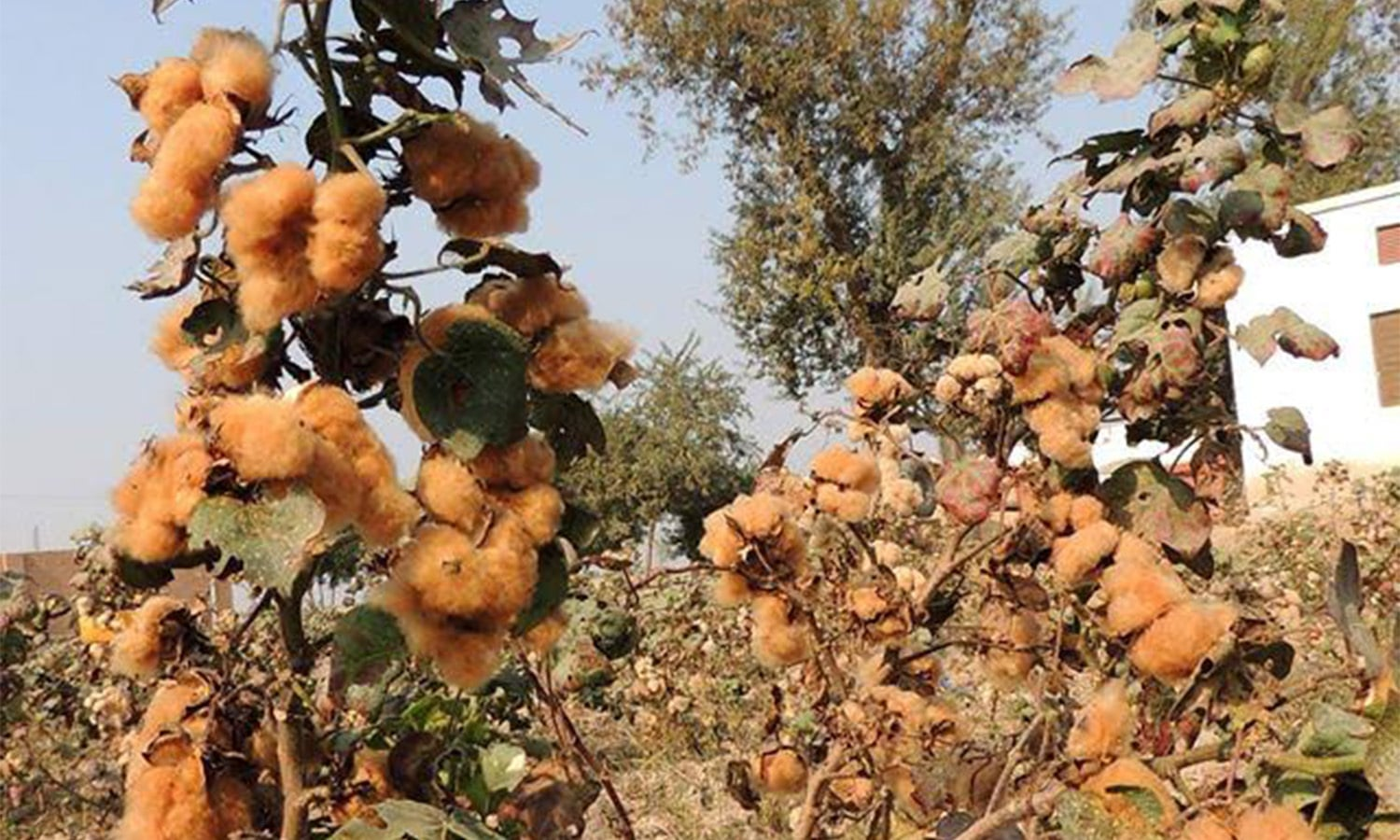 cotton industry of pakistan Imports are of cotton that is of higher quality in order to meet the textile industry's needs pakistan's cotton is pakistan's main industrial crop grown on.