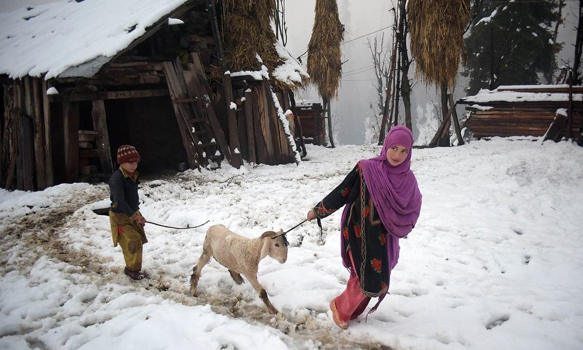 A Kashmiri girl pulling a sheep in the snow-covered Neelum Valley, Azad Kahmir | AFP