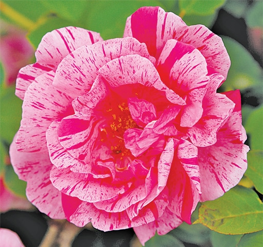 Container grown roses & other pot plants need daily watering in the heat