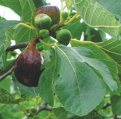 Huge figs ready to harvest