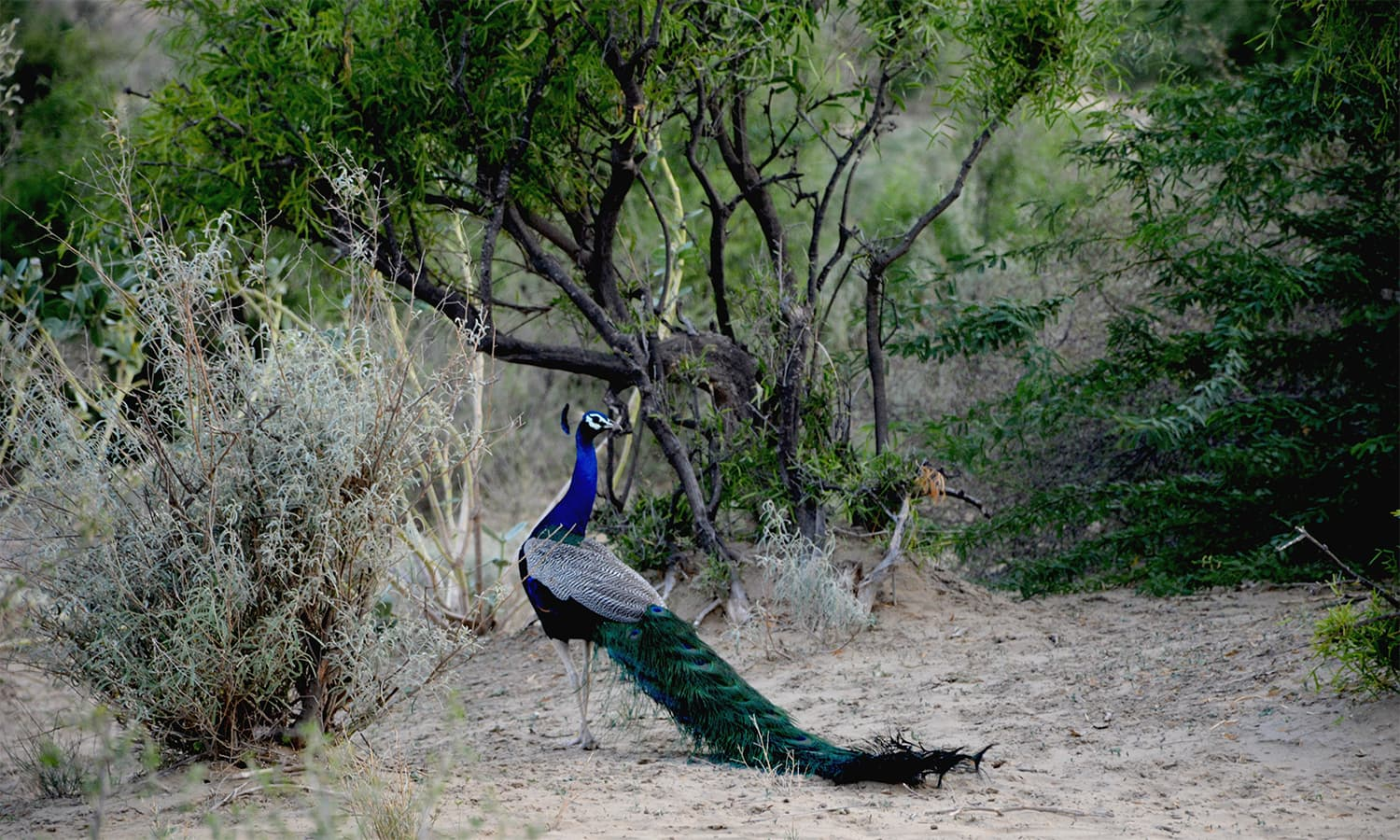 Thar Desert is home many wildlife species including blue peacocks and antelopes. ─ Photo by author