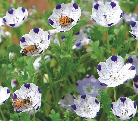 Bees love nemophila