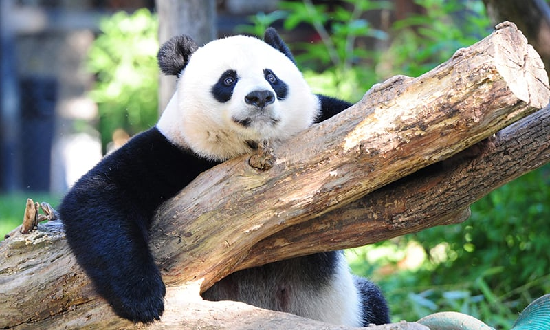 This photo shows Giant panda Mei Xiang resting in her enclosure at the National Zoo in Washington, DC. Aug 24.─ AFP