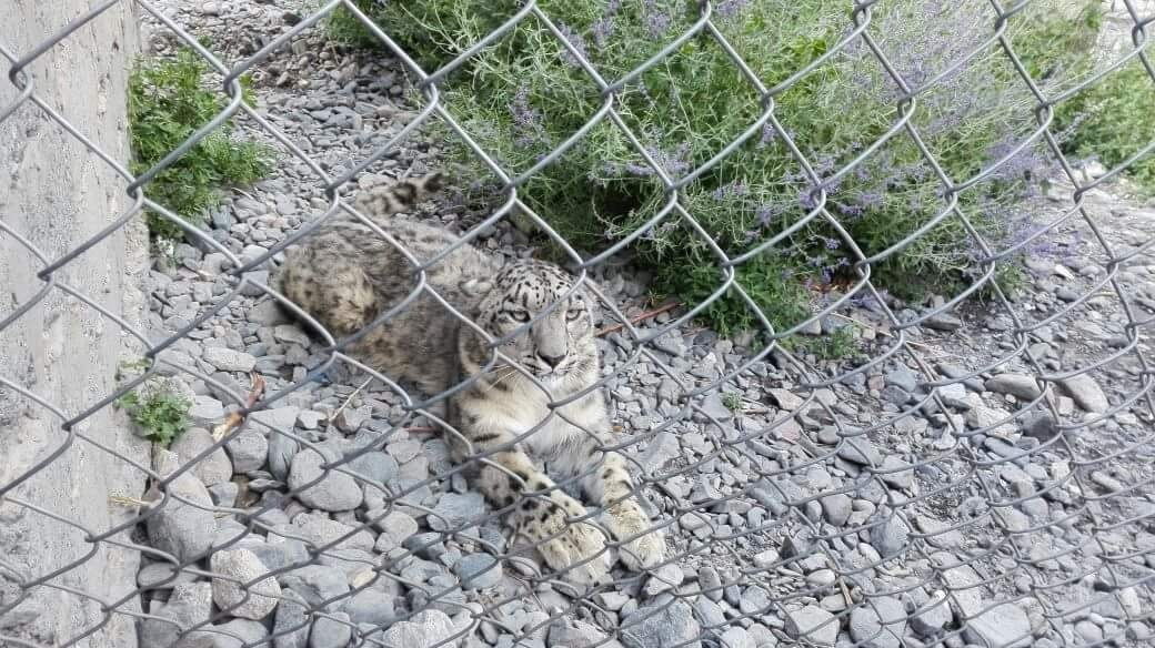 Lovely, also called Lolly, in her cage in Sust, near the Khunjerab National Park. Photo provided by the author