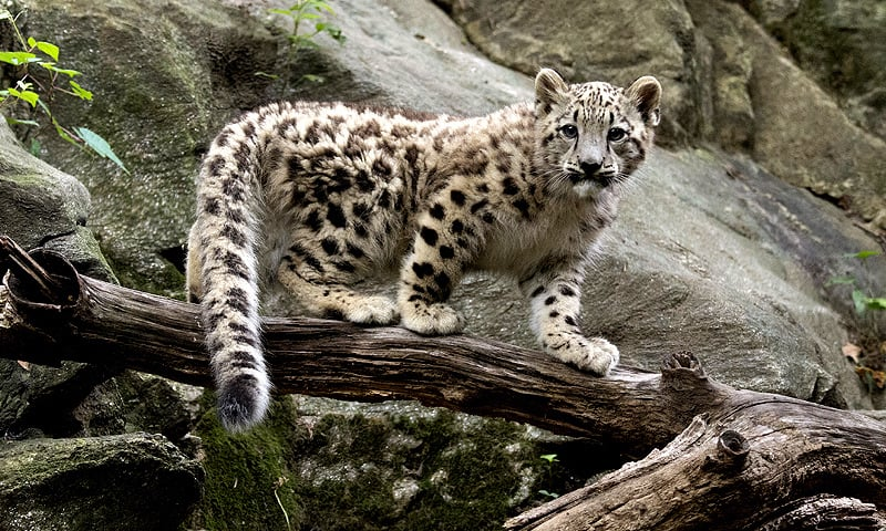 Sohni and Lovely ─ The two snow leopards in captivity in Pakistan