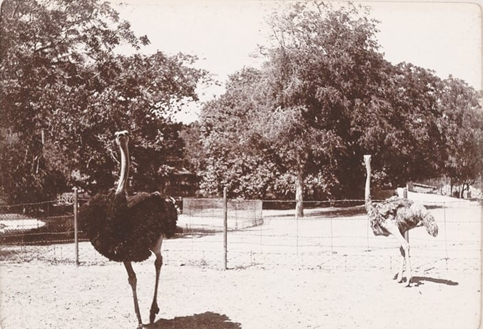 Ostriches At Karachi Zoo Circa 1900   Courtesy British Library
