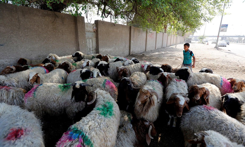 عراق کے شہر بغداد میں کئی جانور ایک ساتھ قربانی کے لیے جمع کیے گئے ہیں — اے ایف پی
