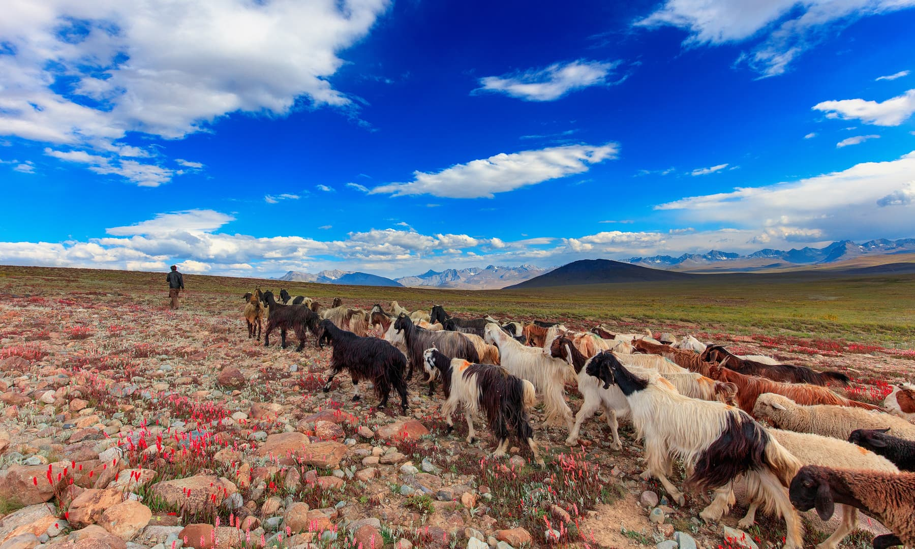 A shepherd leads his herd back to their home in Deosai.