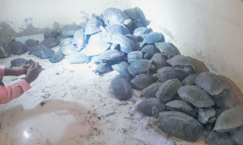 SOME of the turtles seized in  Deh Akro II wildlife sanctuary in Shaheed Benazirabad district on Thursday evening.