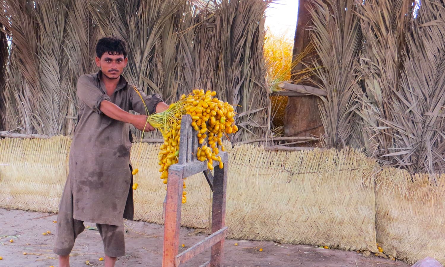 In pictures: How a Khairpur date is born and sold