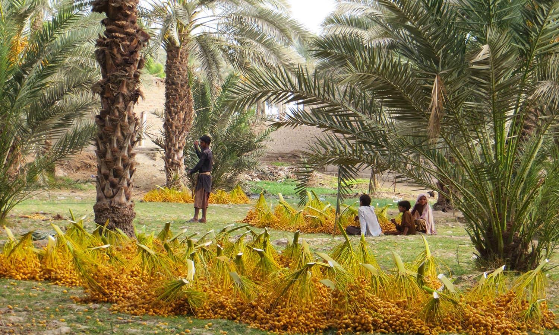 کھجوروں کو درختوں سے اتارے جانے کے بعد مزید پراسیسنگ کے مقام پر لے جایا جاتا ہے— نادیہ آغا
