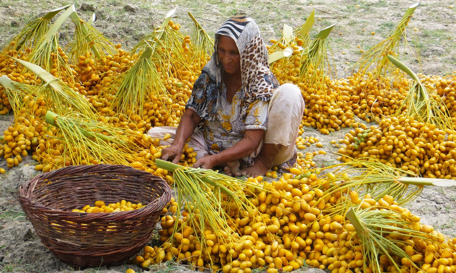 Pakistan is the sixth largest producer of dates in the world.