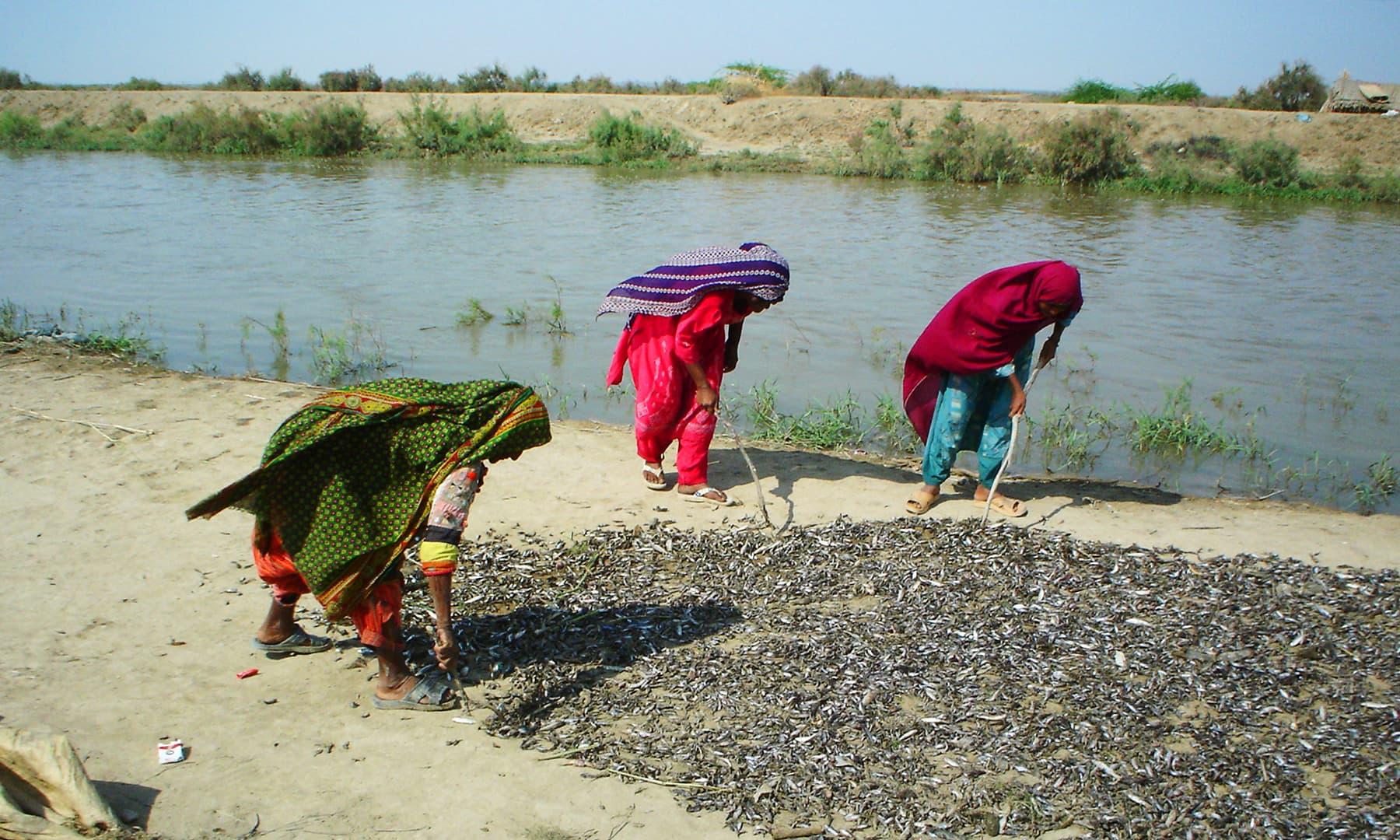 چھوٹی مچھلیوں کو دھوپ میں سکھانے کے لیے رکھ دیا جاتا ہے — تصویر ابوبکر شیخ