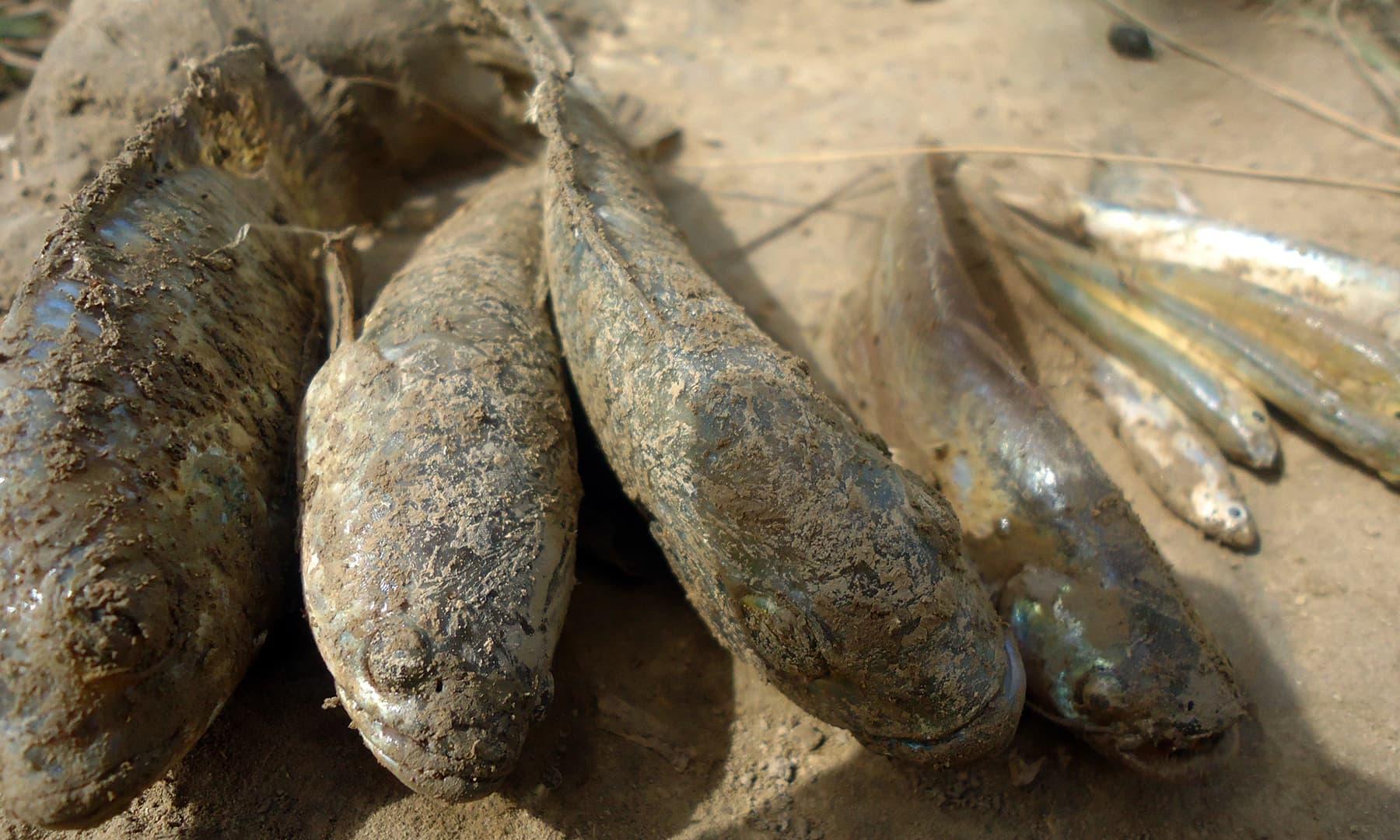 ان علاقوں میں مچھلی کی نسل کشی خوراک کی کمی کا باعث بنتی ہے — تصویر ابوبکر شیخ