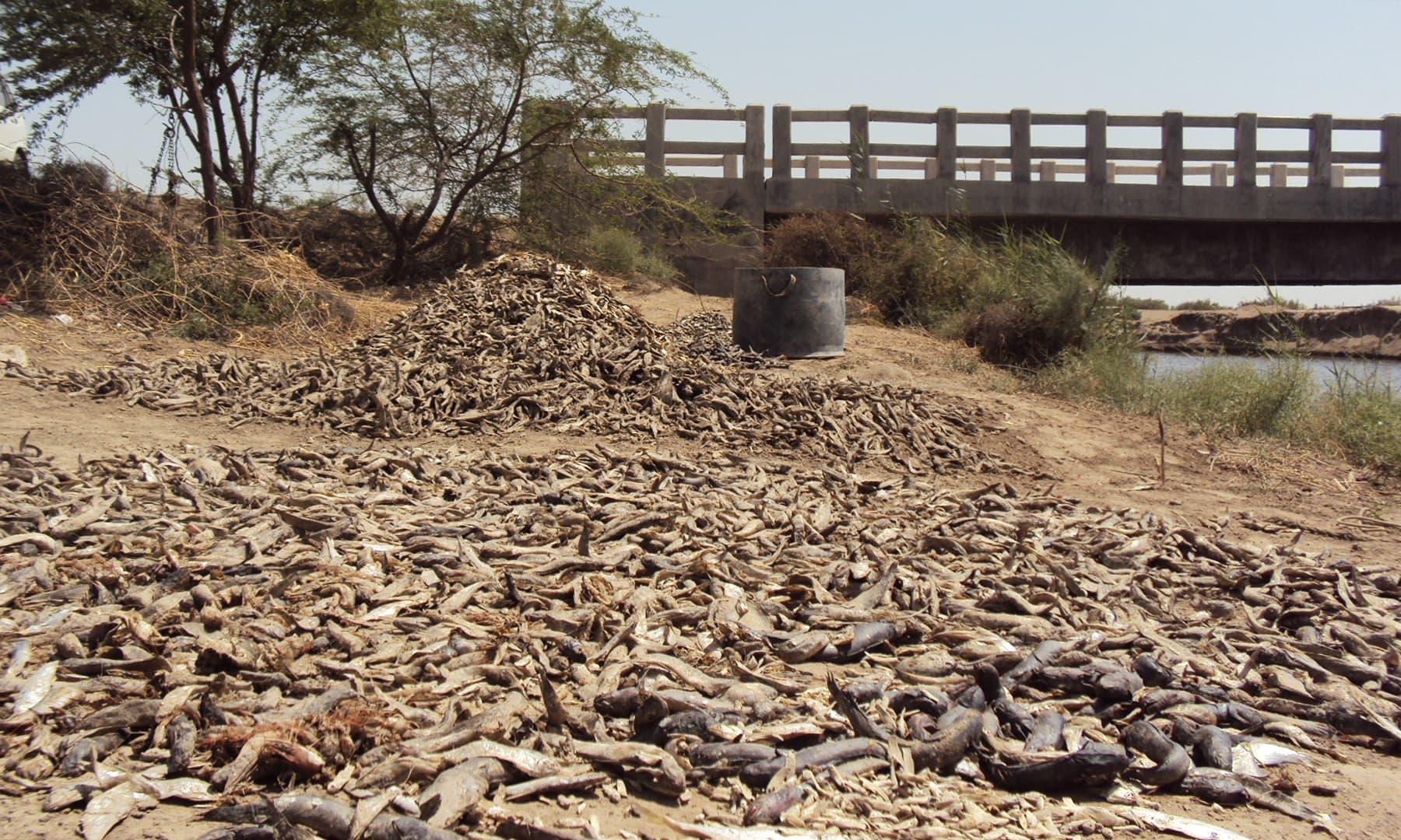 خشک کی گئی چھوٹی مچھلیاں جن سے مرغیوں کی فیڈ تیار کی جاتی ہے — تصویر ابوبکر شیخ
