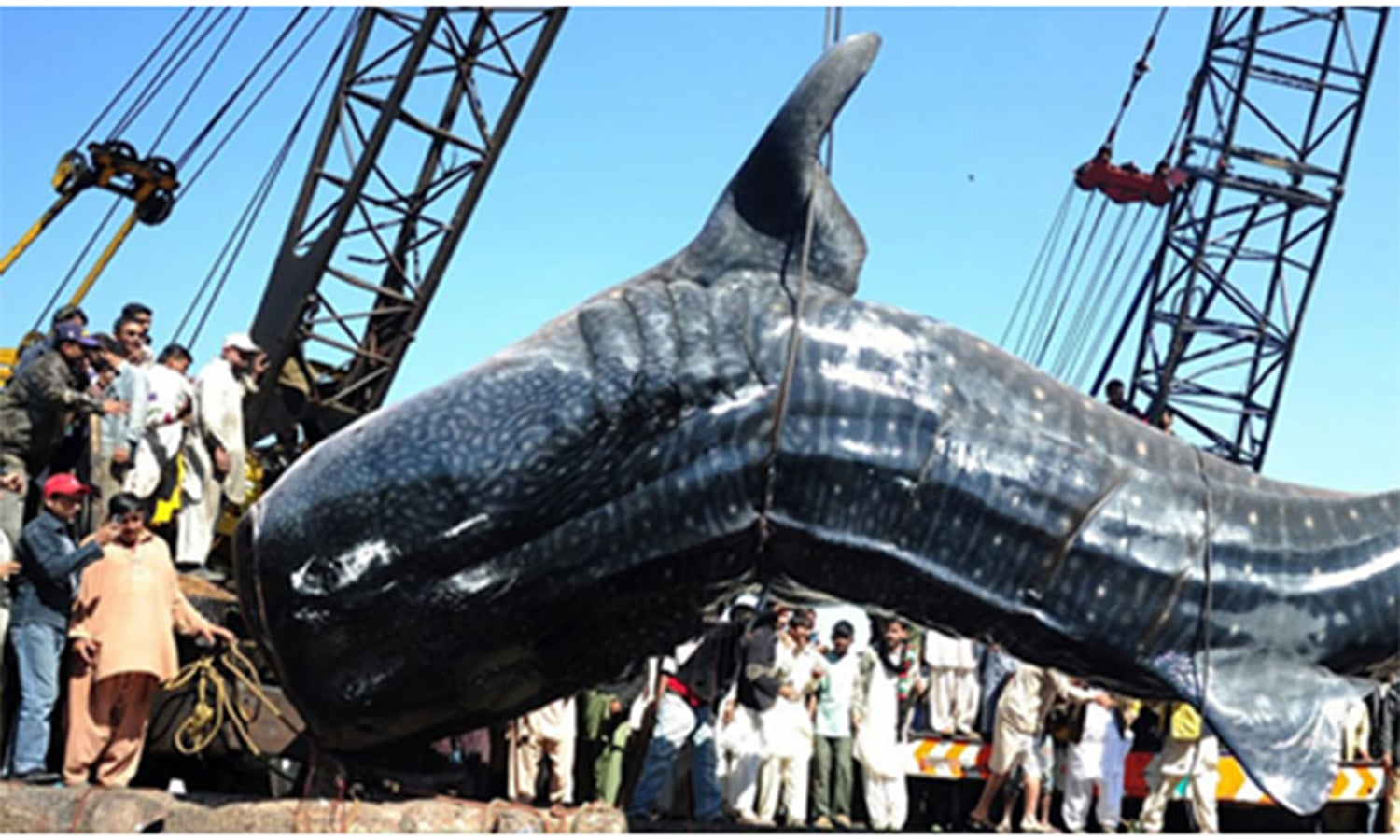 Cranes pull out a 40-ft 'whale shark' from the waters of the harbor.