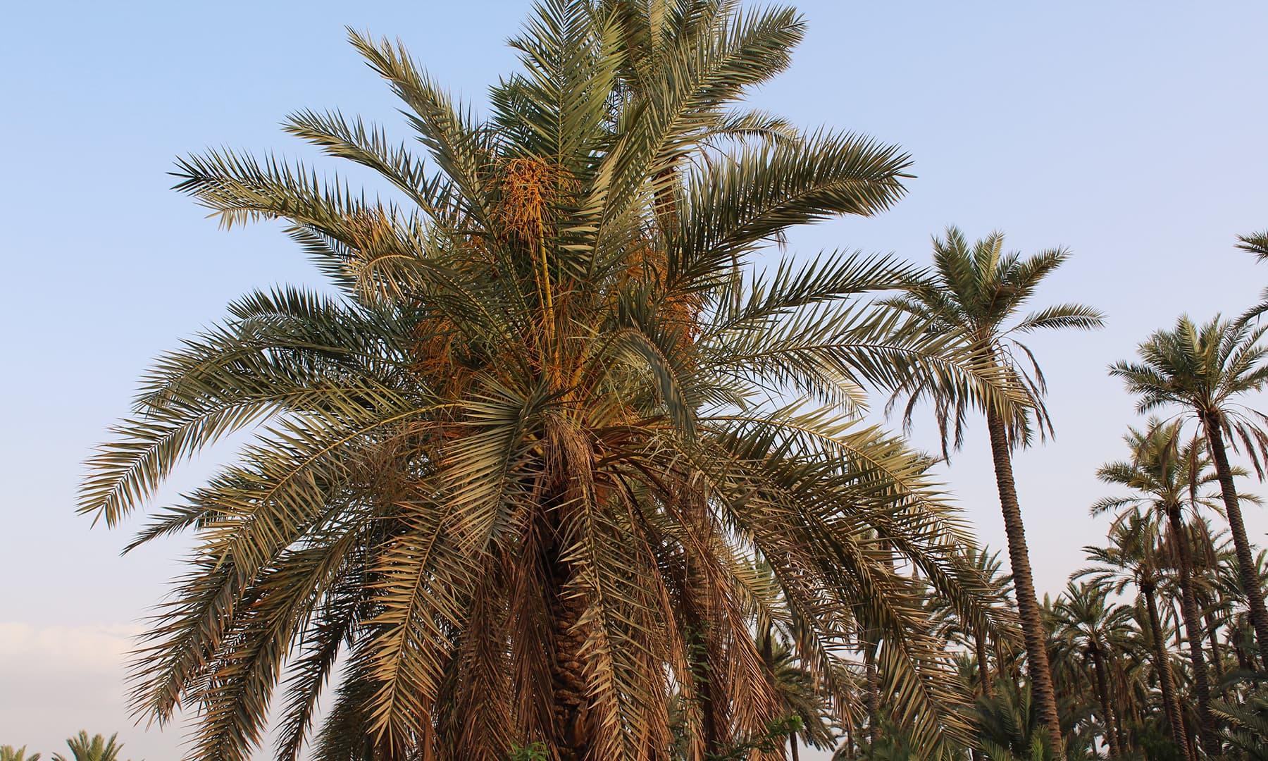 خیرپور میں موجود ایک باغ کا درخت جہاں کھجور کی فصل تیار ہیں — تصویر اختر حفیظ