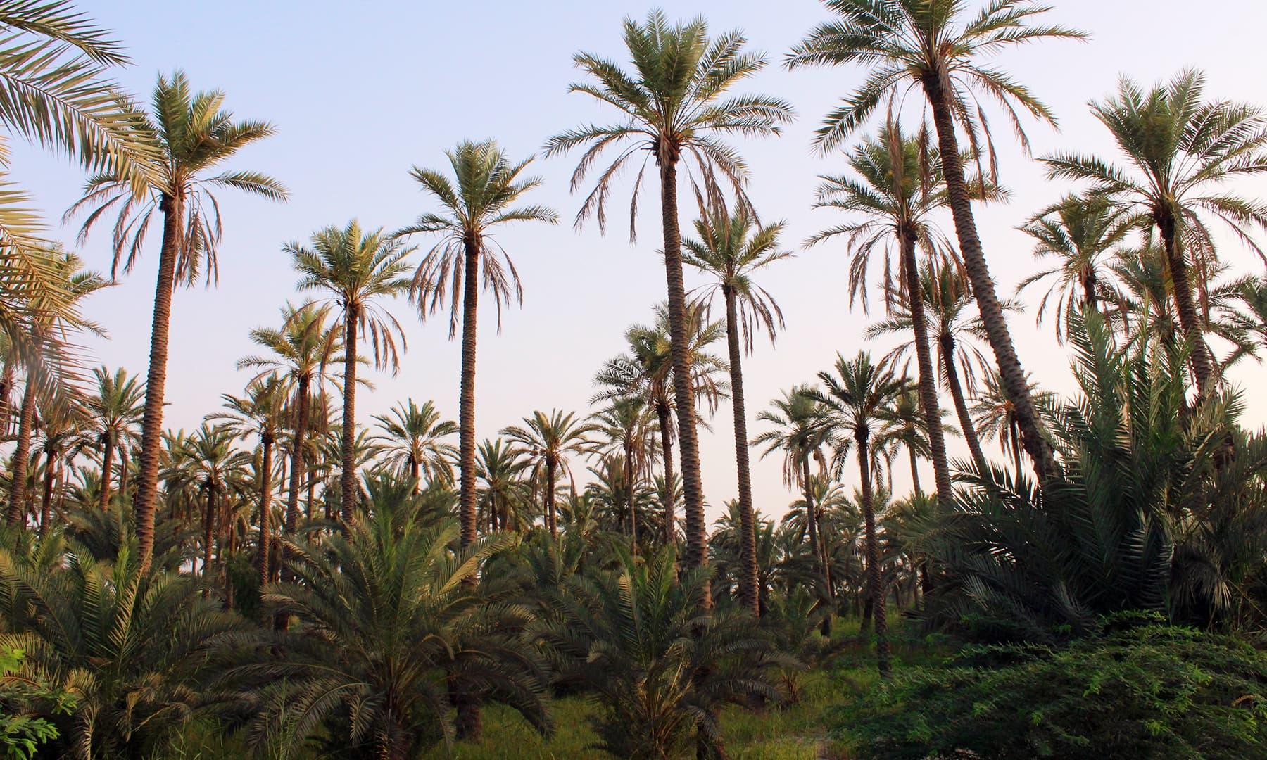 خیرپور میں موجود کھجور کے باغات — تصویر اختر حفیظ