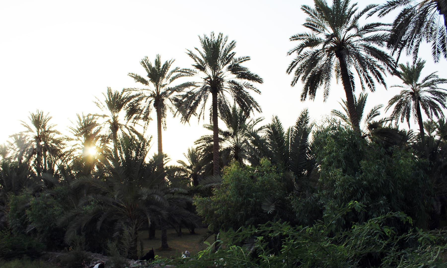 درختوں کے پیچھے مسکراتا سورج — تصویر اختر حفیظ