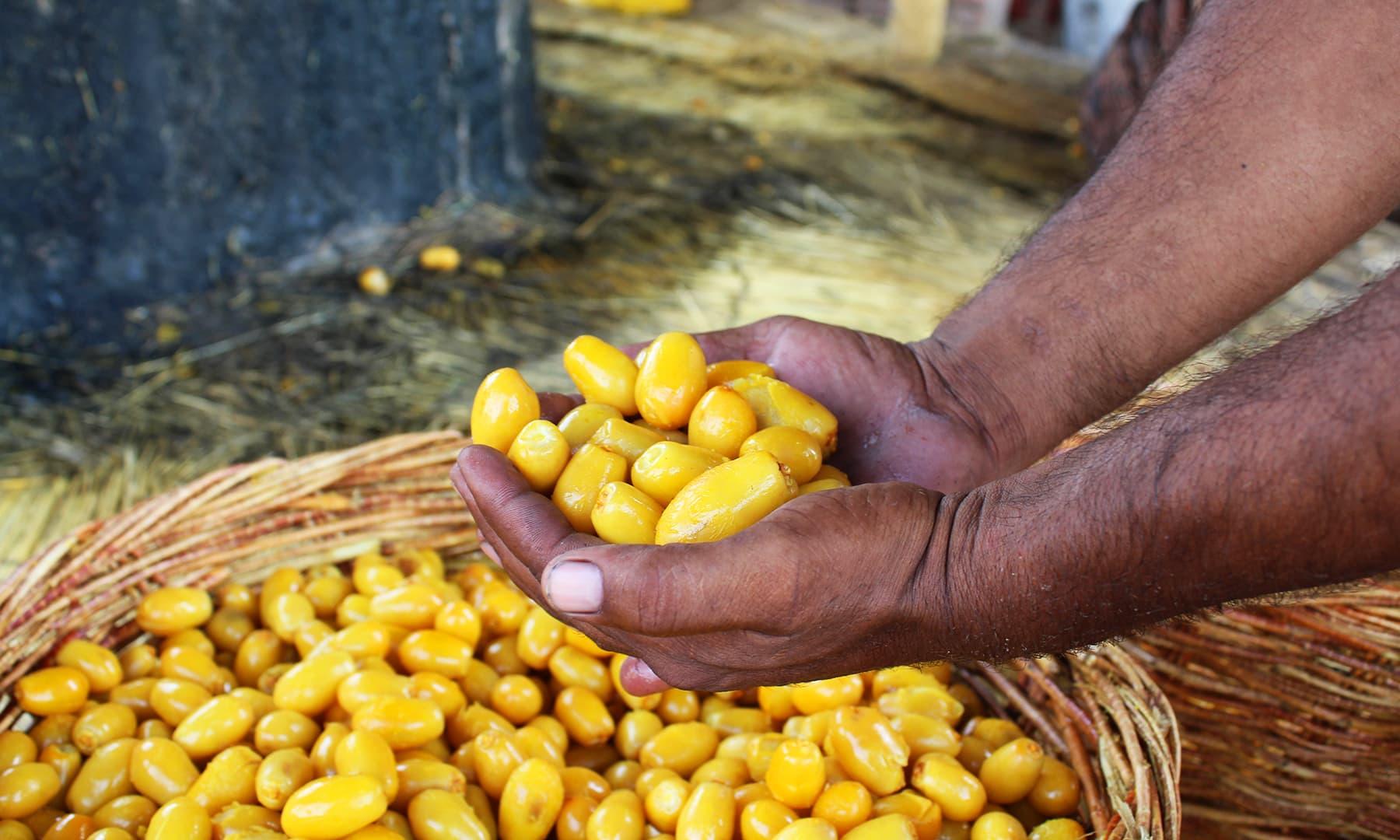 کھجور کی فصل مزدوروں کے لیے روزگار کے مواقع کرتی ہے — تصویر اختر حفیظ