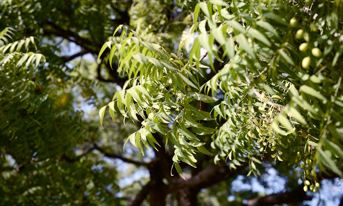 Neem trees can be found in many of Karachi's old neighbourhoods