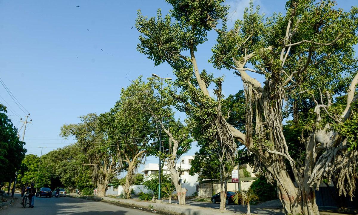 An old eucalyptus tree on Amir Khusro Road