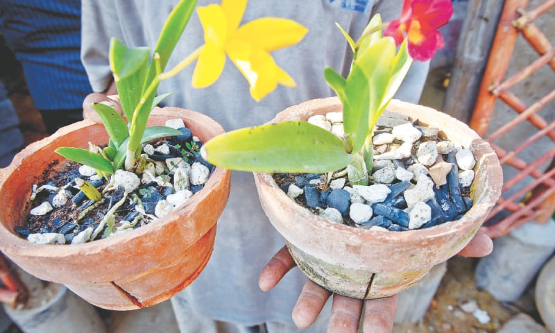 Makes for a good fertiliser for orchids./ Photos by Fahim Siddiqi / White Star