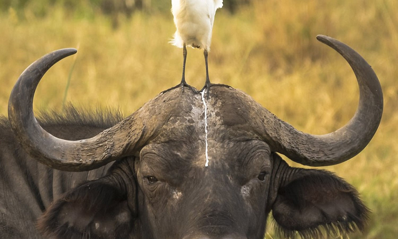 بیچاری بھینس کے اوپر گندگی کرتے پرندے کی تصویر بھی ایوارڈ کی مستحق ٹھہری—فوٹو: بشکریہ comedywildlifephoto.com