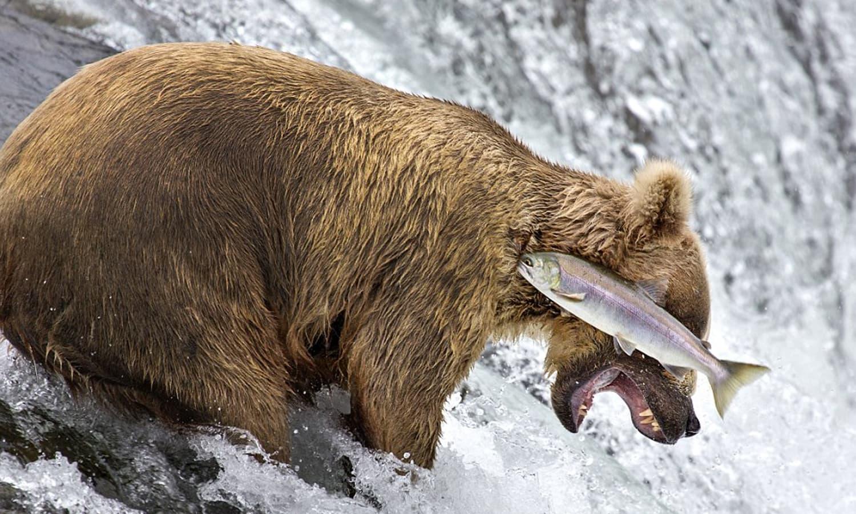 مچھلی کا شکار بننے والے بھالو کی تصویر بھی لوگوں کو پسند آئی—فوٹو: بشکریہ comedywildlifephoto.com