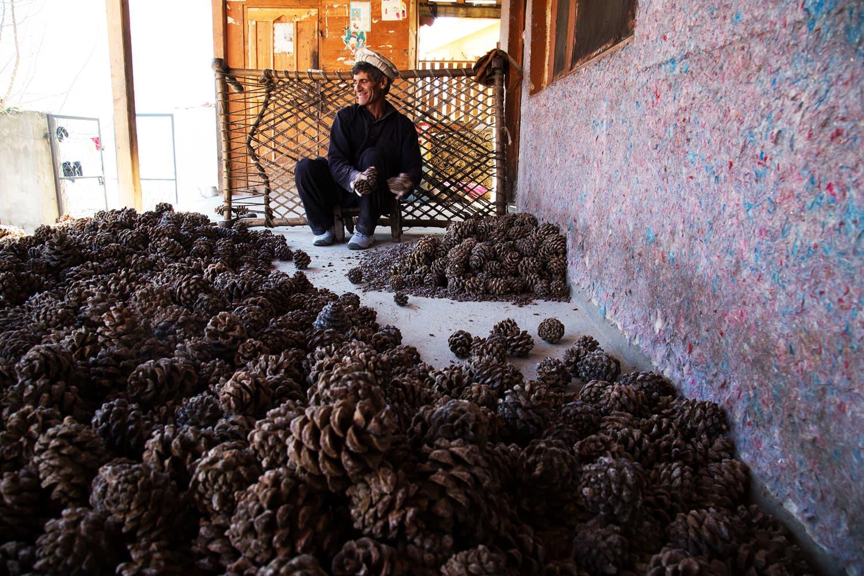 کیلاش قبیلے کے علاقے میں چلغوزے کی کاشت ہوتی ہے