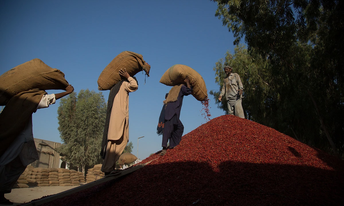 Workers in Kunri unload dried chillies brought in from the fields