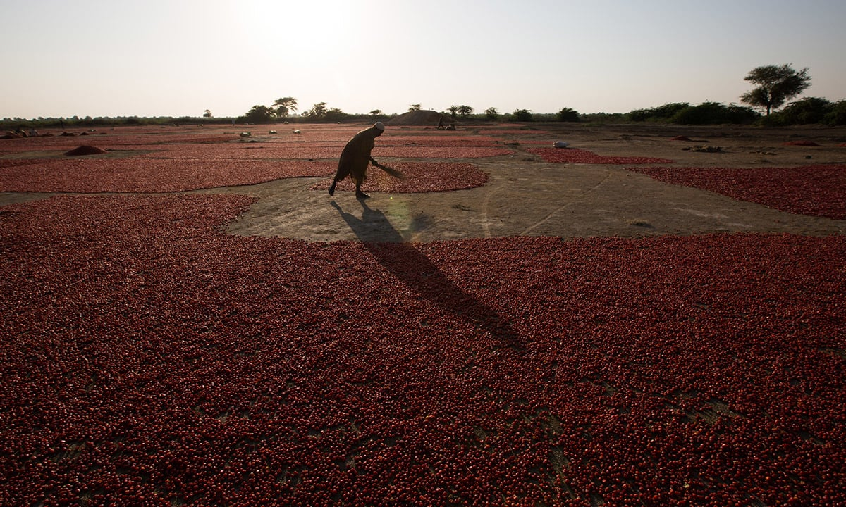 Red chillies are spread across a wide area and left to dry for four to five days before being sold in the market