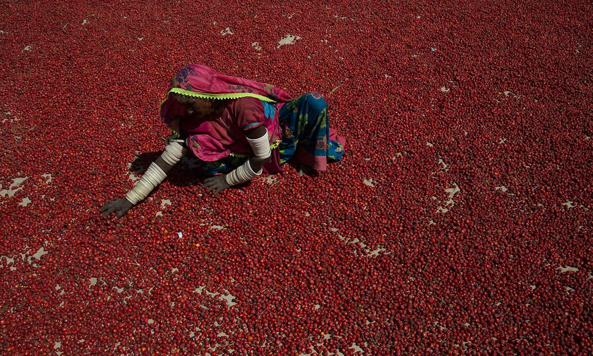 A woman from Madave Solanki village spreads chillies out to dry under the sun